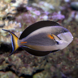 Dr.Bassleer Biofish Food GSE/Moringa L 60 g